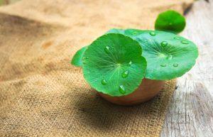 tumbuhan untuk sistem imun